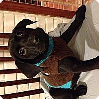 Adopt A Pet :: Tyger - Manchester, CT