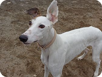 Greyhound Dog for adoption in Roanoke, Virginia - Cheryl