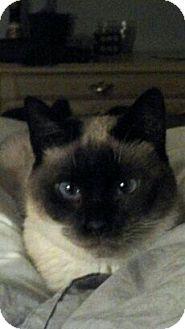 Siamese Cat for adoption in Washington, D.C. - Boonie (CR)