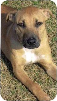 Labrador Retriever/American Staffordshire Terrier Mix Dog for adoption in Portsmouth, Rhode Island - Bruno