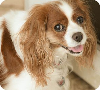 Cavalier King Charles Spaniel Dog for adoption in Haslet, Texas - Miranda