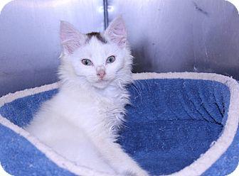 Domestic Mediumhair Kitten for adoption in Lumberton, North Carolina - Gabby