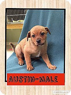 Terrier (Unknown Type, Medium) Mix Puppy for adoption in Spring Valley, New York - Austin
