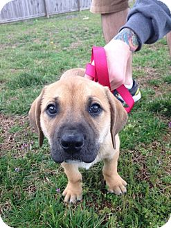 Labrador Retriever/Great Pyrenees Mix Puppy for adoption in Harrisonburg, Virginia - Dorothy Riley