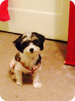 Maltese/Terrier (Unknown Type, Small) Mix Dog for adoption in Los Angeles, California - Bella