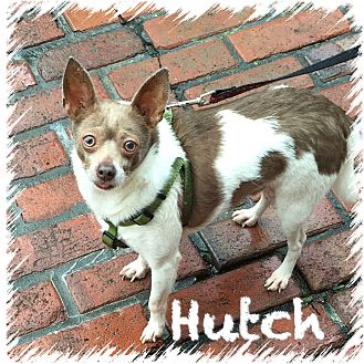 Chihuahua/Rat Terrier Mix Dog for adoption in Greensboro, Maryland - Hutch