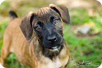 Boxer Mix Puppy for adoption in Monroe, North Carolina - Bandit