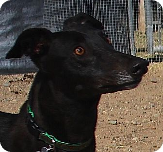 Greyhound Dog for adoption in Tucson, Arizona - Paisley