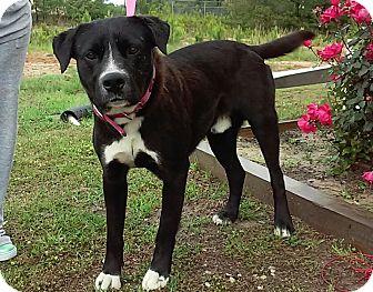 Labrador Retriever Mix Dog for adoption in Union Springs, Alabama - Norris