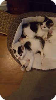 Domestic Shorthair Kitten for adoption in Delmont, Pennsylvania - 1Jack Sparrow
