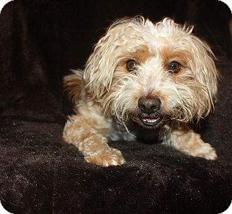 Poodle (Miniature)/Terrier (Unknown Type, Small) Mix Dog for adoption in Henderson, Nevada - Bogey