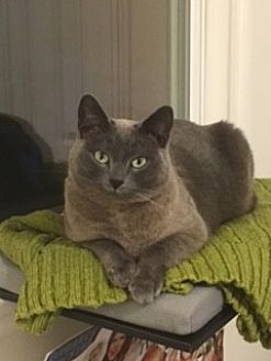 Siamese Cat for adoption in Los Angeles, California - Moonshine (bonded to Kiki)