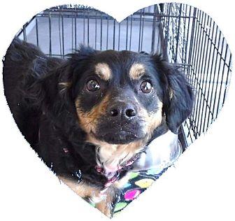 Spaniel (Unknown Type) Mix Dog for adoption in Las Vegas, Nevada - Penny