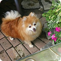 Adopt A Pet :: Candi, formerly MARSHMALLOW - Delaware, OH