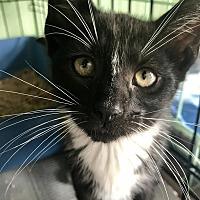 Adopt A Pet :: Gwen - Island Park, NY
