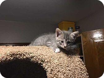 "Domestic Shorthair Kitten for adoption in Washington, D.C. - Fiona's Kitten ""Smokey"" (Has Application)"