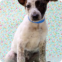 Adopt A Pet :: Brutus - Waldorf, MD