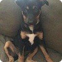 Adopt A Pet :: BROOKE - Hampton, VA