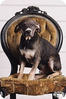 Labrador Retriever Mix Puppy for adoption in Portland, Oregon - Oliver Wood