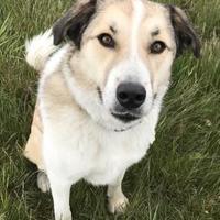 Akbash/Australian Shepherd Mix Dog for adoption in Livingston, Montana - Clover(Aiyah)