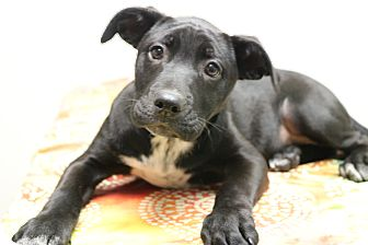 Labrador Retriever/American Pit Bull Terrier Mix Puppy for adoption in Nashville, Tennessee - Cloe