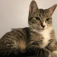 Adopt A Pet :: Bitsy Biscuit - Ellicott City, MD