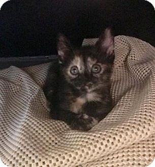Domestic Shorthair Kitten for adoption in Philadelphia, Pennsylvania - clamber