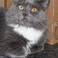 Domestic Longhair Cat for adoption in Lutherville, Maryland - Gabriella