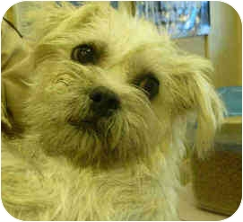 Cairn Terrier Mix Dog for adoption in San Clemente, California - DIXIE