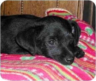 Poodle (Miniature)/Chihuahua Mix Puppy for adoption in El Segundo, California - Raider