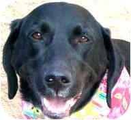 Labrador Retriever/Hound (Unknown Type) Mix Dog for adoption in Colorado Springs, Colorado - Tux