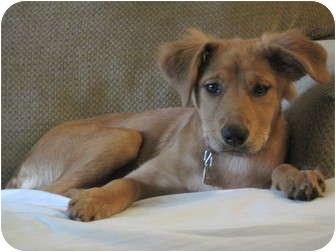 Golden Retriever/Labrador Retriever Mix Puppy for adoption in Plainfield, Connecticut - Molly