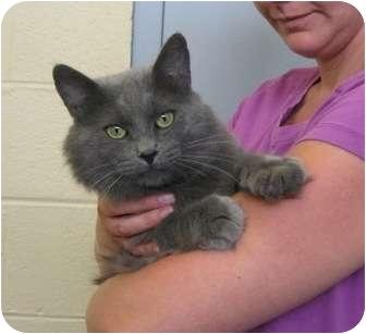 Ragdoll Cat for adoption in Radford, Virginia - Ken