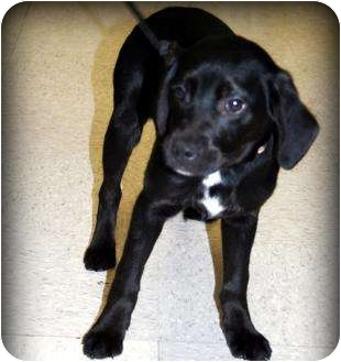 Labrador Retriever Mix Puppy for adoption in mishawaka, Indiana - Star - PAWMART