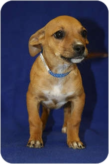 Terrier (Unknown Type, Small) Mix Puppy for adoption in Broomfield, Colorado - Viola