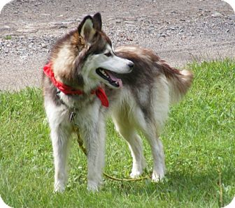 Husky Dog for adoption in Rigaud, Quebec - Spice
