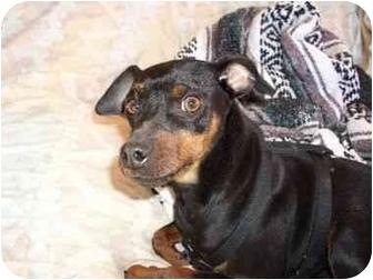 Miniature Pinscher Mix Dog for adoption in Phoenix, Arizona - Joel