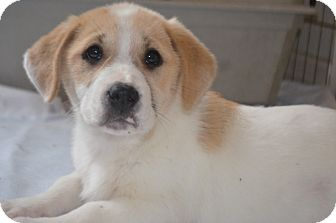 Corgi/Hound (Unknown Type) Mix Puppy for adoption in Weeki Wachee, Florida - Terri