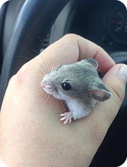 Hamster for adoption in Bensalem, Pennsylvania - Piglet