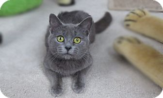 Russian Blue Kitten for adoption in Richmond, Virginia - Whisper