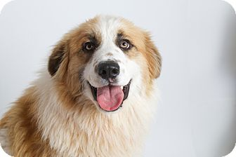 Great Pyrenees Mix Dog for adoption in San Andreas, California - Freckles