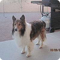 Adopt A Pet :: Shupa - apache junction, AZ