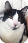 Domestic Shorthair Cat for adoption in Vancouver, British Columbia - Luna