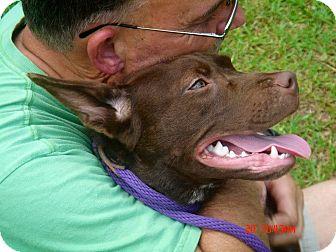 Boston Terrier/Labrador Retriever Mix Puppy for adoption in Wakefield, Rhode Island - Harriet