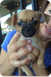 Pug/Chihuahua Mix Puppy for adoption in Brea, California - Buttercup