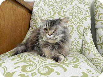 Persian Cat for adoption in Windham, New Hampshire - Ursula ($100 fee)