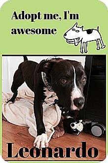 Labrador Retriever/American Pit Bull Terrier Mix Dog for adoption in Huntington Beach, California - Leonardo