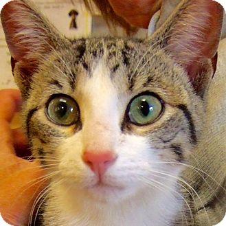 Domestic Shorthair Kitten for adoption in Sprakers, New York - Whiskey