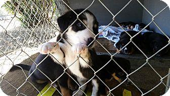 Border Collie/Australian Shepherd Mix Puppy for adoption in Gustine, California - ROY