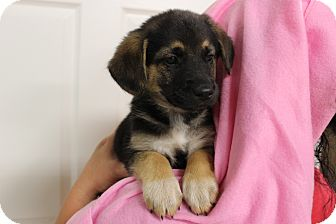 Brittany Mix Puppy for adoption in Boonsboro, Maryland - Cally